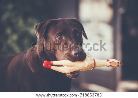 Labrador retriever catch Chicken Tot , Selective focus on eye dog. blur background , color vintage style #718853785