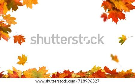 Autumn falling maple leaves isolated on white background
