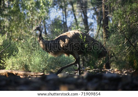 A wide Emu in Mount remarkable National Park, South Australia. #71909854