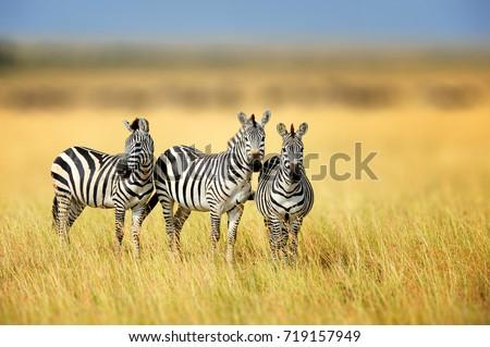 Zebra in the grass nature habitat, National Park of Kenya. Wildlife scene from nature, Africa Royalty-Free Stock Photo #719157949
