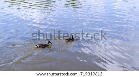 ducks in the turbid pond at summer. wildlife, nature. #719319613