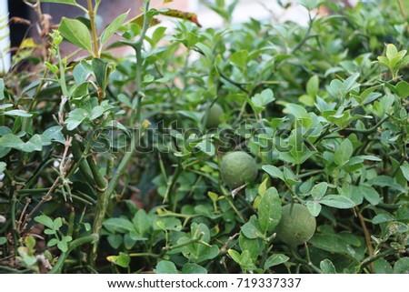 defoliate orange (tree) thorn #719337337