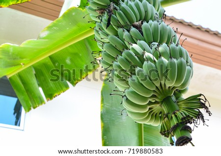 Banana trees and bunch of green bananas #719880583