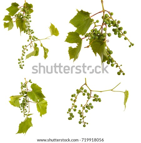 Clusters of young unripe grapes on the vine. Isolated on white background #719918056