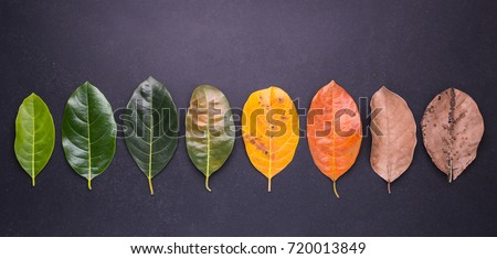Different color and age of leaves of the jackfruit tree leaves from fresh green to dry brown on black stone background. For environment changed concept. Top view #720013849