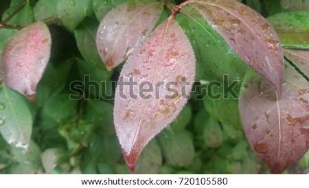 Rain drops on Fall leaves #720105580
