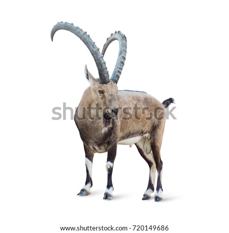 Alpine Ibex isolated on white background, Young alpine ibex male on the top of the mountain isolated on white background #720149686