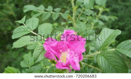 Pink Flower Rose In The Field. #720206683