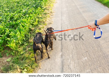 Person walks with two standard schnauzer dogs at the leash on a country path #720237145