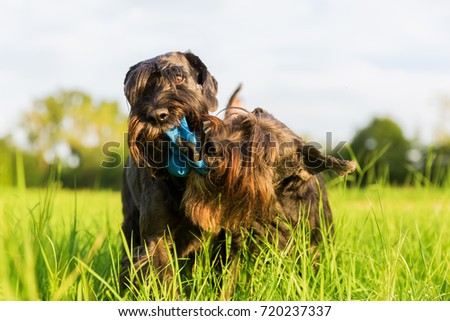 Two standard schnauzer dopgs fight for a treat bag #720237337