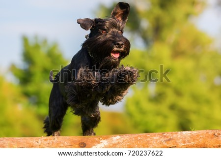 Picture of a standard schnauzer who jumps over a wooden beam #720237622