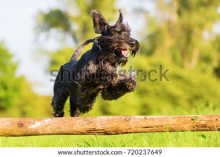 Picture of a standard schnauzer who jumps over a wooden beam #720237649