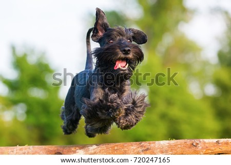 Picture of a standard schnauzer who jumps over a wooden beam #720247165