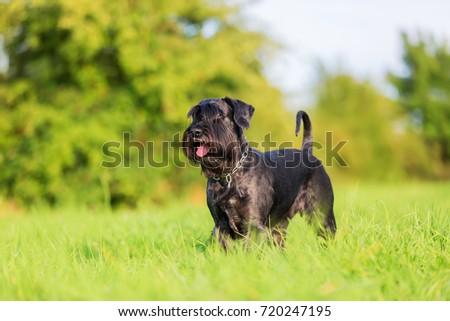 Portrait of a standard schnauzer on the meadow #720247195