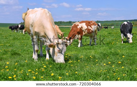 Cows on a summer pasture #720304066