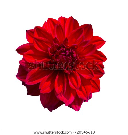 Red Dahlia flower isolated on white background #720345613