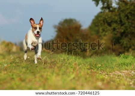 Cute mixed breed dog is running on meadow in summer #720446125