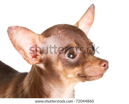 Russian toy terrier isolated on a white background #72044860