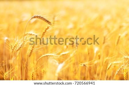 Golden ears of wheat in summer on the field. #720566941