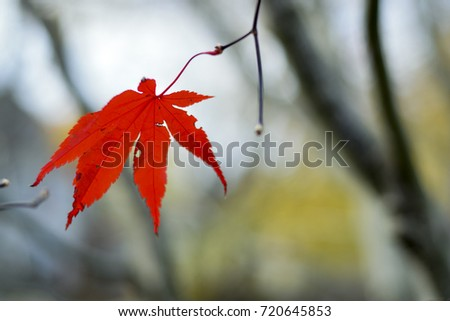 One single red Japanese maple leaf in a tree during autumn #720645853