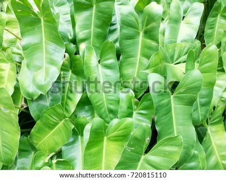Philodendron #720815110