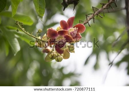 Flowers of Cannonball tree (couroupita guianensis) #720877111