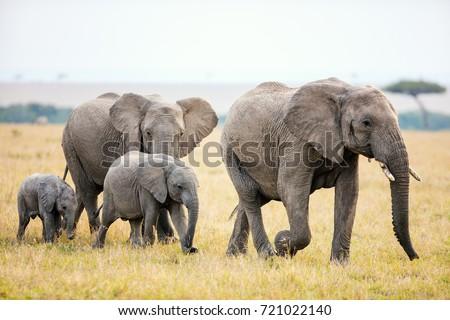 Elephants in safari park in Kenya Africa #721022140