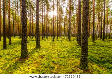 Sun shines between tree trunks in a pine forest #721104814