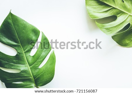 Real tropical leaves on white backgrounds.Botanical nature concepts.flat lay design #721156087