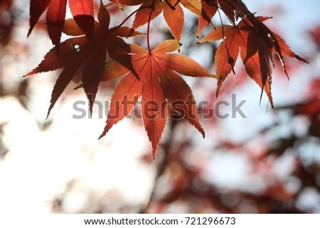 Maple leaf #721296673