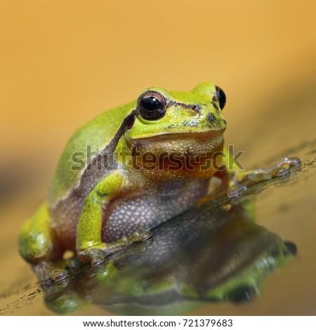 cute green tree frog full length image ( Hyla arborea ) #721379683