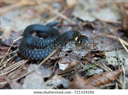A young black herbal snake (Natrix natrix) is sunning in the autumn sun. #721524286