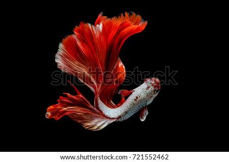 Rhythmic of Betta fish, siamese fighting fish betta splendens (Halfmoon red dragon  betta ),isolated on black background.
