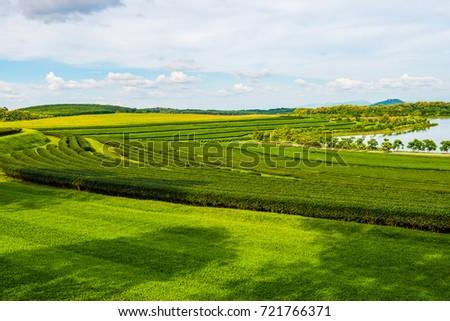 Tea plantation at Chiang Rai province, Thailand. #721766371