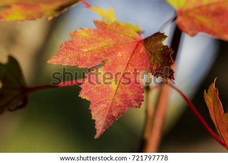 Maple leaf showing off it's fall colors. #721797778