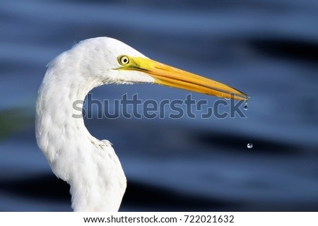 Great egret on the hunt in the park #722021632