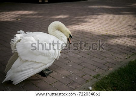 swan in an urban environment manifestation of the aggression of animals in relation to man. a very evil white swan in a protective frightening position wants to attack with a bite spreading its wings. #722034061