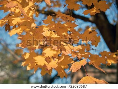 Illuminated golden autumn leaves on branch against blue sky background, autumnal season greeting #722093587
