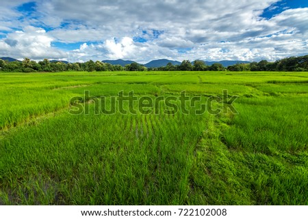 Beautiful Rice fields of green with mountain and fluffy clouds sky background #722102008
