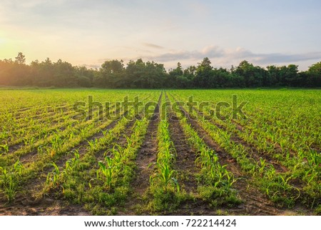 selective focus picture of organic young corn at agriculture field  #722214424