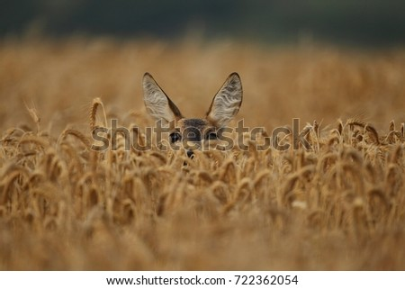 Roe deer male on the magical green grassland, european wildlife, wild animal in the nature habitat, deer rut in czech republic. Royalty-Free Stock Photo #722362054