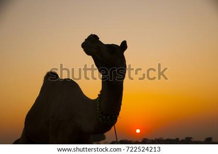 PUSHKAR, INDIA, 19 NOVEMBER 2015 : Camel and camel trader an early morning at sunrise during Camel Fair in Pushkar. Camel Fair is a yearly event in pushkar. #722524213
