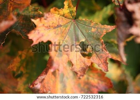 autumn leaves  #722532316