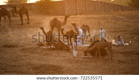 PUSHKAR, INDIA, 19 NOVEMBER 2015 : Camel and camel trader an early morning at sunrise during Camel Fair in Pushkar. Camel Fair is a yearly event in pushkar. #722535571