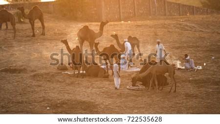 PUSHKAR, INDIA, 19 NOVEMBER 2015 : Camel and camel trader an early morning at sunrise during Camel Fair in Pushkar. Camel Fair is a yearly event in pushkar. #722535628