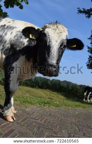 Cows in the meadow #722610565