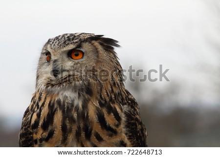 A Horned Owl