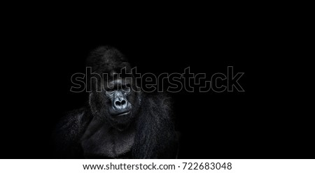 Portrait of a male gorilla on black background, severe silverback, Grave look of the great ape, the most dangerous and biggest monkey of the world. The chief of a gorilla family. APE #722683048