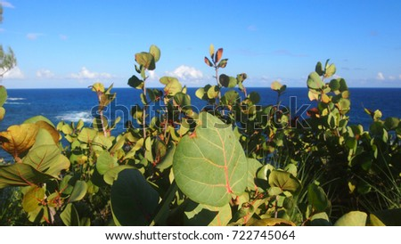 Bay Grape Leaves and Tree in Front of Blue Ocean #722745064
