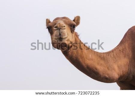 camels feeding Royalty-Free Stock Photo #723072235